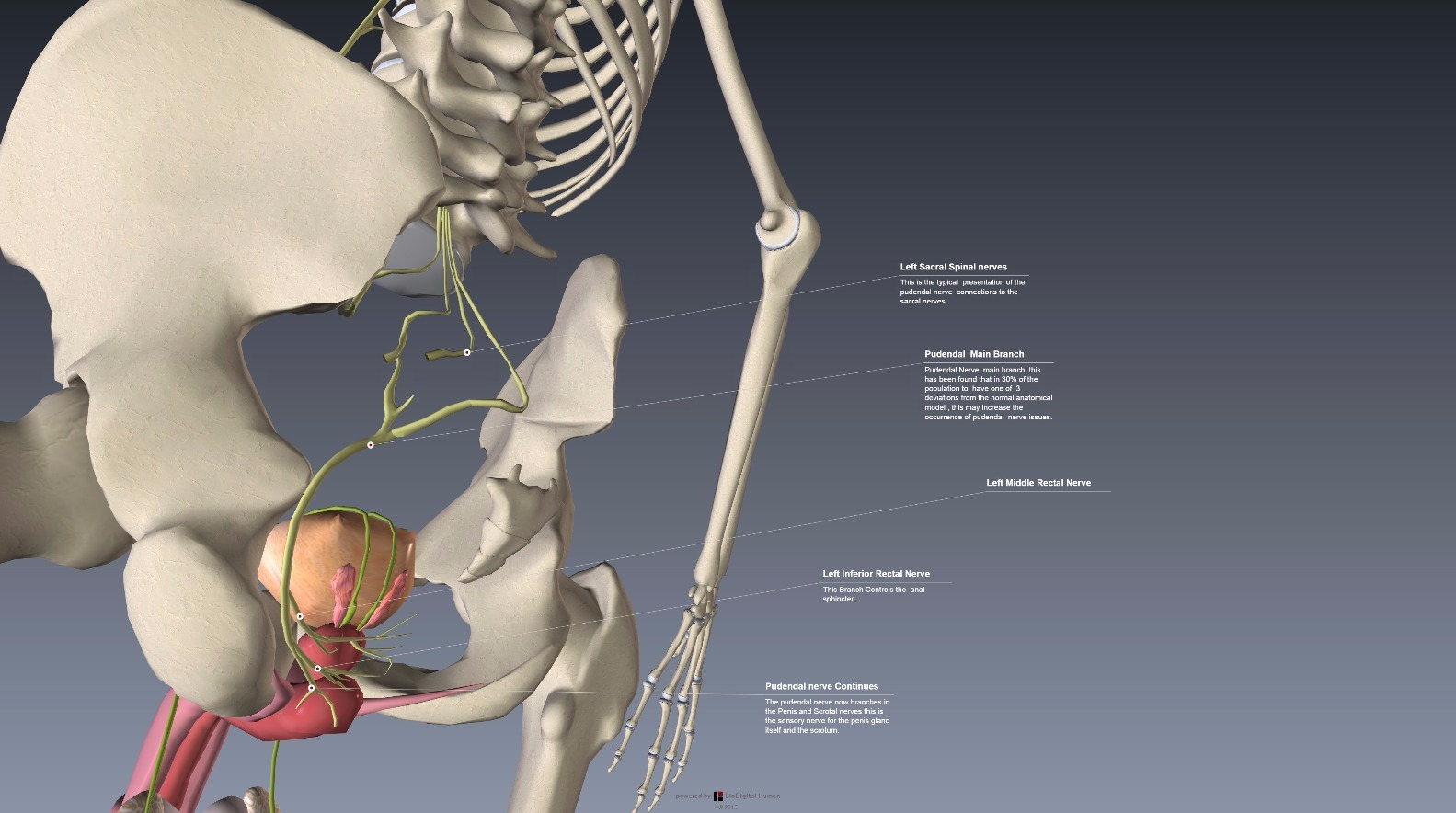 Health Organization for Pudendal Education • View topic - 3d Anatomy ...